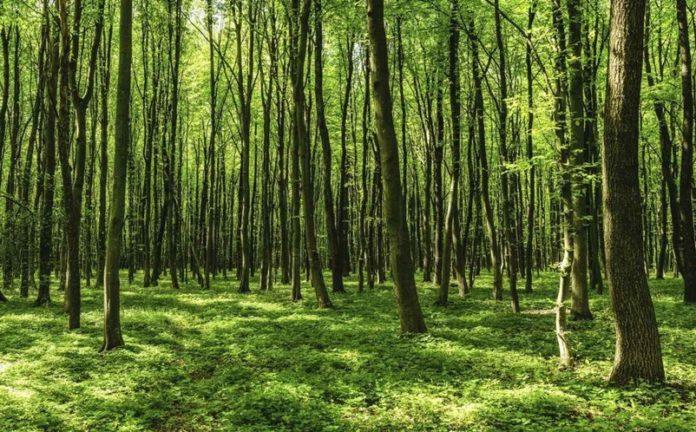 las - drzewa